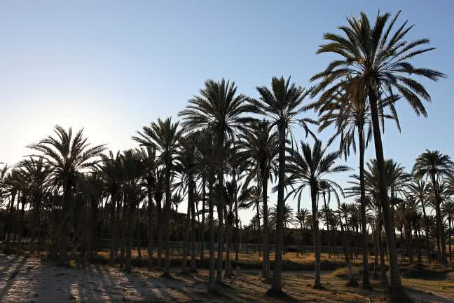Palms in Torrevieja - free stock photo