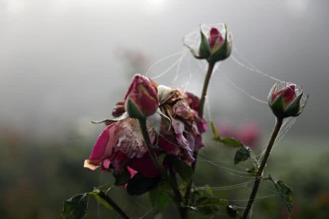Rose bud in the winter - free stock photo