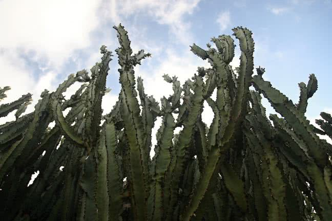 Tall cactuses - free stock photo